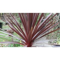 Trio of Hardy Purple Tower Cordyline Palms