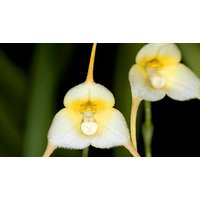 200-Pack of Variety of Monkey Face Orchid Seeds