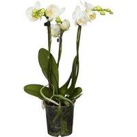 Schmetterlings-Orchidee 3-Trieber Weiß Topf-Ø ca. 12 cm Phalaenopsis