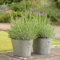 Lavender Hidcote and trough combination