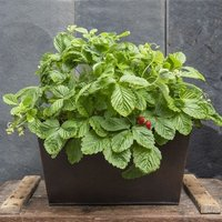 Plant trough and alpine strawberry - woodland