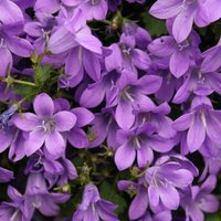 Product photograph showing Campanula Portenschlagiana 9cm Pot