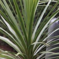 Cordyline australis 2 litre pot
