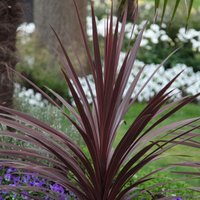 Cordyline australis Red Star 2 litre pot