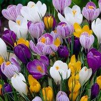 Crocus Mixed Colours 90 bulbs