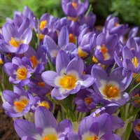 Crocus sieberi subsp. sublimis Tricolor 60 bulbs