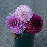 Blues and royals dahlia collection