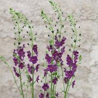 Image of Verbascum phoeniceum Violetta 6 × 9cm pots