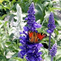 Salvia Sea of Butterflies mixed