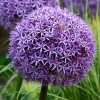 Allium Globemaster 5 bulbs