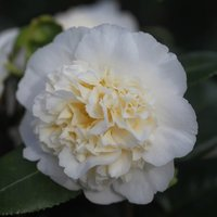 Product photograph showing Camellia Japonica Brushfields Yellow 3 Litre Pot