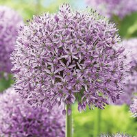 Allium Gladiator 15 bulbs