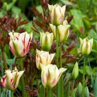 Image of Tulipa Flaming Springgreen 5 bulbs