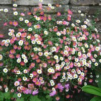 Product photograph showing Erigeron Karvinskianus 9cm Pot