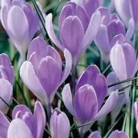 Crocus Vanguard 60 bulbs