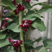 Product photograph showing Bean Broad Crimson-flowered Approx 20 Seeds
