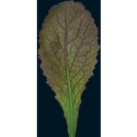 Image of mustard Red Giant approx 350 seeds