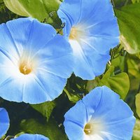 Image of Ipomoea tricolor Heavenly Blue approx 85 seeds