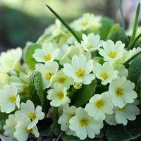 Primula vulgaris approx 30 seeds