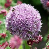 Allium Round n Purple 3 bulbs