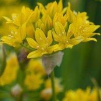 Allium moly 50 bulbs