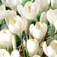 Crocus Jeanne dArc 60 bulbs