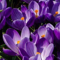 Crocus Remembrance 60 bulbs