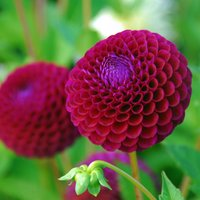 Product photograph showing Dahlia Downham Royal 3 Tubers