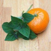 Salvia elegans Tangerine