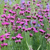 Product photograph showing Dianthus Carthusianorum 9cm Pot