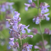 Product photograph showing Nepeta Faassenii 9cm Pot