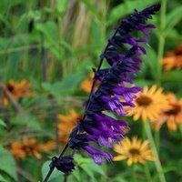 Salvia Amistad (PBR)