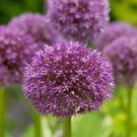 Allium Beau Regard 2 + 1 FREE bulbs
