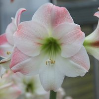 Product photograph showing Hippeastrum Galaxy Group Apple Blossom 1 Bulb