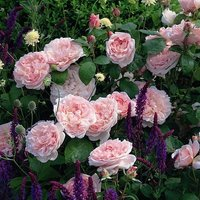 Rose and Salvia plant combination