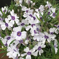 Product photograph showing Phlox Subulata Bavaria 9cm Pot