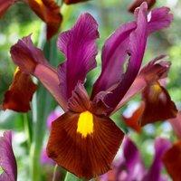 Iris Red Ember 60 bulbs