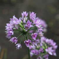 Allium Eros 5 bulbs