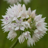 Allium amplectens Graceful Beauty 15 bulbs
