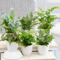 Product photograph showing Fern Starter Collection 6cm Pot