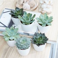 Product photograph showing Echeveria Starter Collection 6cm Pot