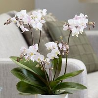 Image of Phalaenopsis Blush Pink Willd Orchid 12cm pot - 45cm tall