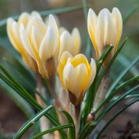 Crocus Romance 30 bulbs