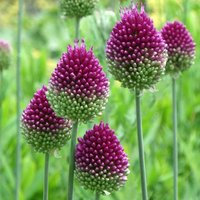 Allium sphaerocephalon - XL Landscaping pack 1000 bulbs