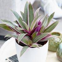 Image of Tradescantia spathacea Sitara 12cm pot - 25cm tall