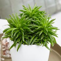 Product photograph showing Peperomia Happy Bean 10 5cm Pot 15cm Tall