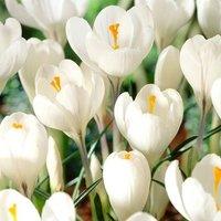 Crocus Jeanne dArc - Organic bulbs