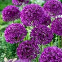 Allium hollandicum Purple Sensation - Organic bulbs