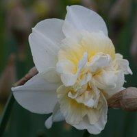 Image of Narcissus Obdam 10 bulbs