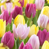 Image of Early flowering prince tulip collection 1 collection